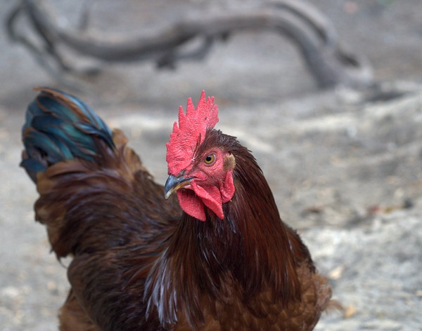 My Alpha Rooster--Lucy