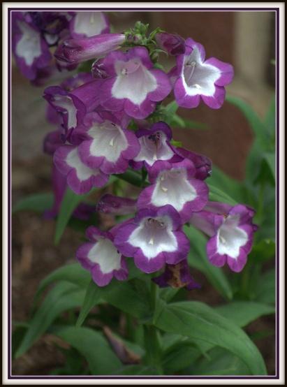 Penstemon Phoenix Violet 09