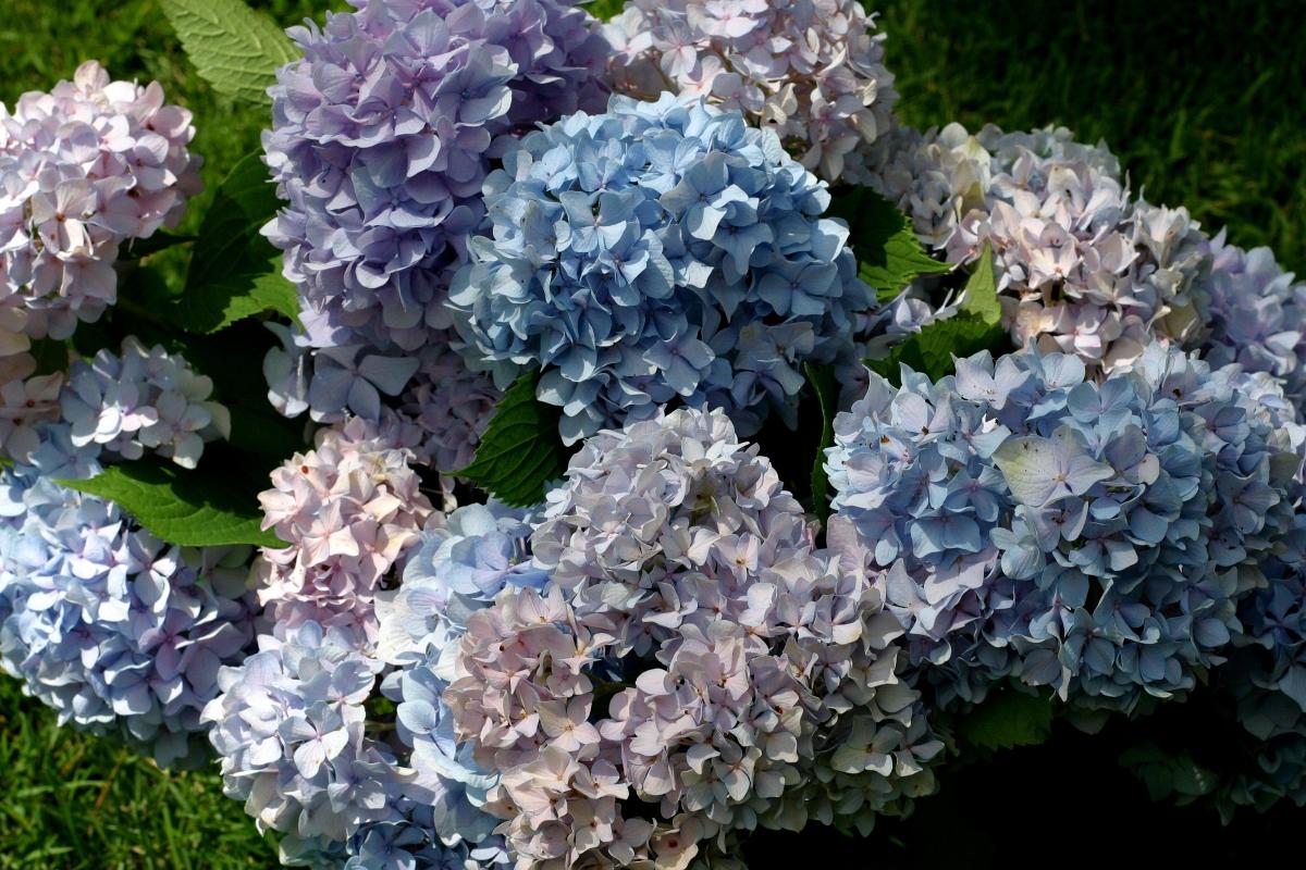 Hydrangea ~ Endless Summer: Late June2013