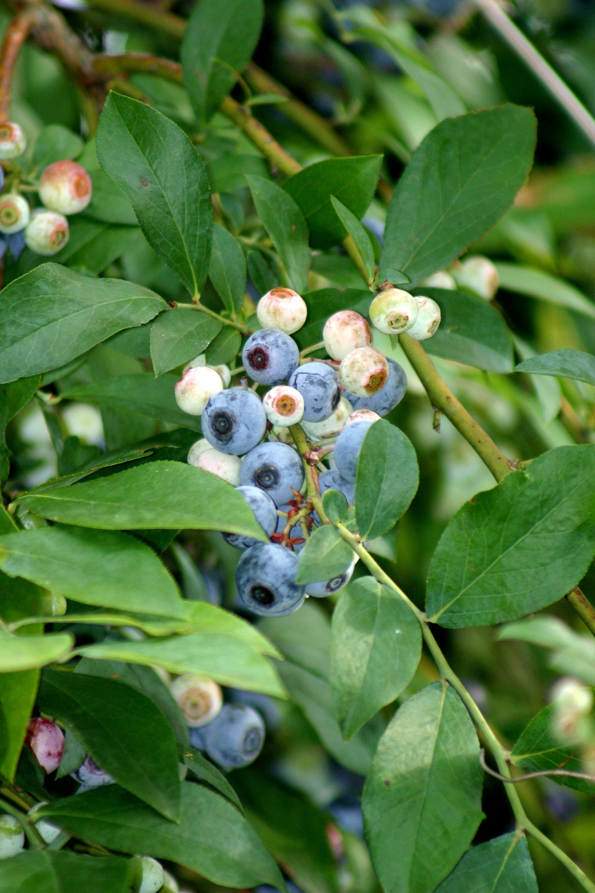 2013 Bounty, of the fruit kind ~Blueberries
