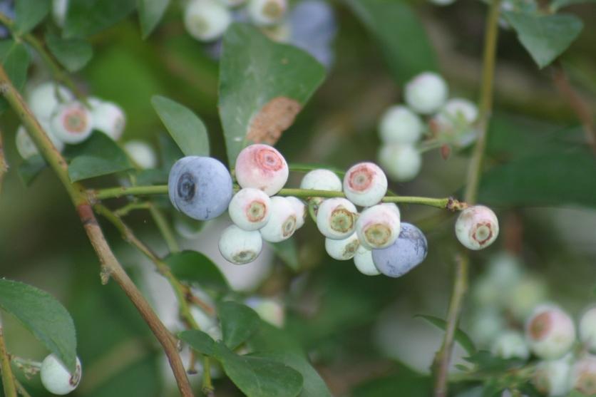 2013 Blueberries
