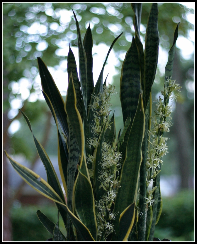 Sansevieria trifasciata [Snake Plant] ~ in full bloom