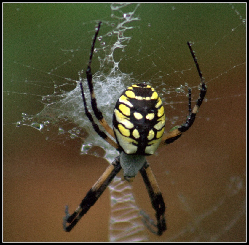 This year's Black and Yellow Argiope spider