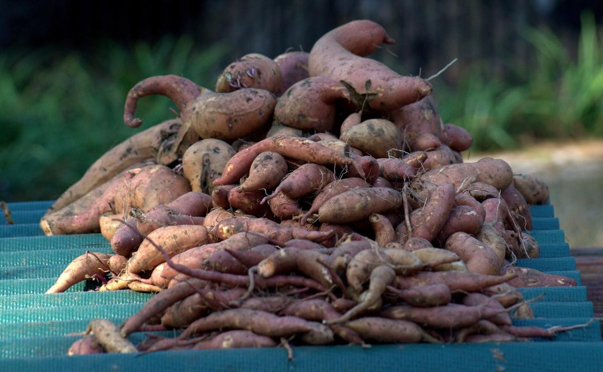2013 Bounty, Sweet Potatoes,10/23