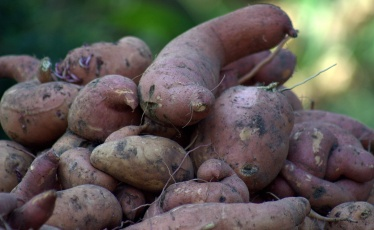 In for a closer look at today's sweet potato harvest--the big ones...