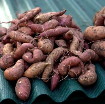 ...and we have medium size sweet potatoes;