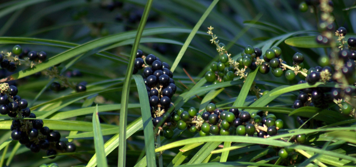 Liriope [Monkey Grass], now with berries,10/25