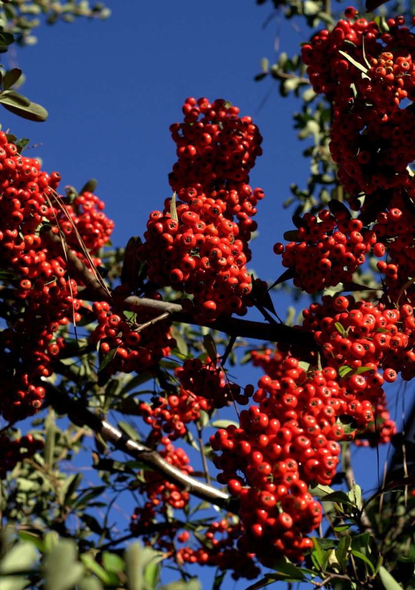 Firethorn or Pyracantha.