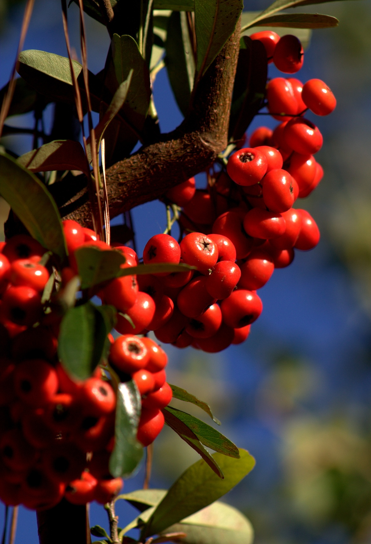 Shrubbery ~ Firethorn/Pyracantha Berries, 10/25