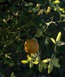 Trifoliate Orange - Poncirus trifoliata (Flying Dragon)