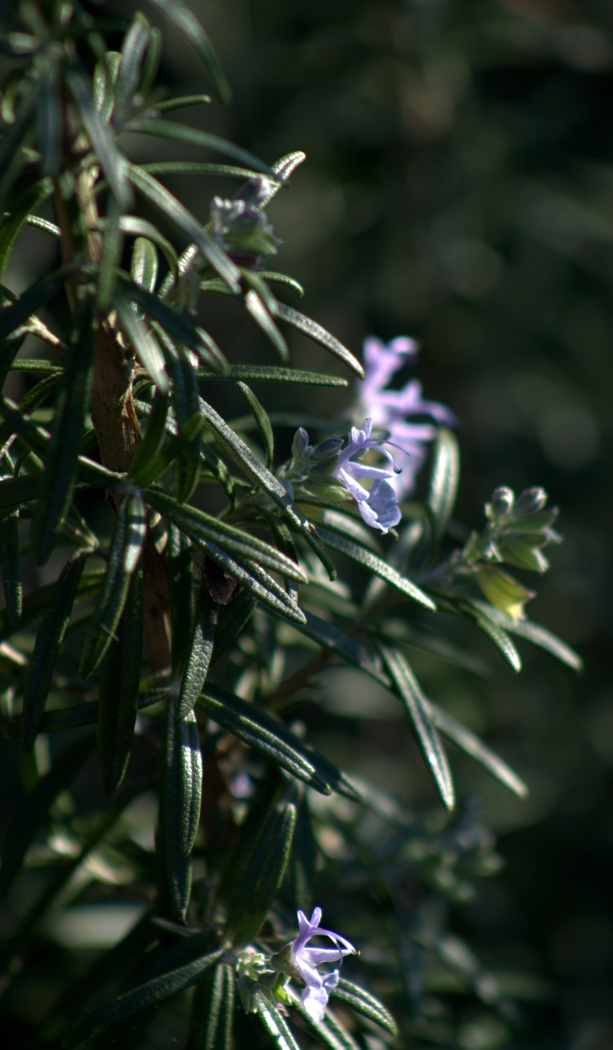 Autumn Color, 2013  ~ Rosemary in Bloom, 10/29