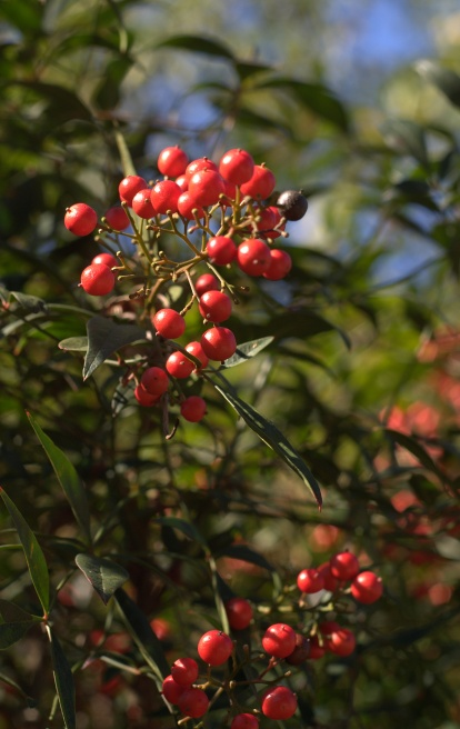 Nandina domestica [heavenly bamboo or sacred bamboo]