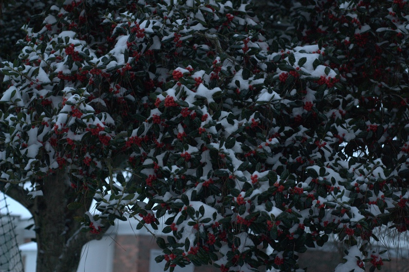 Holly berries, with snow