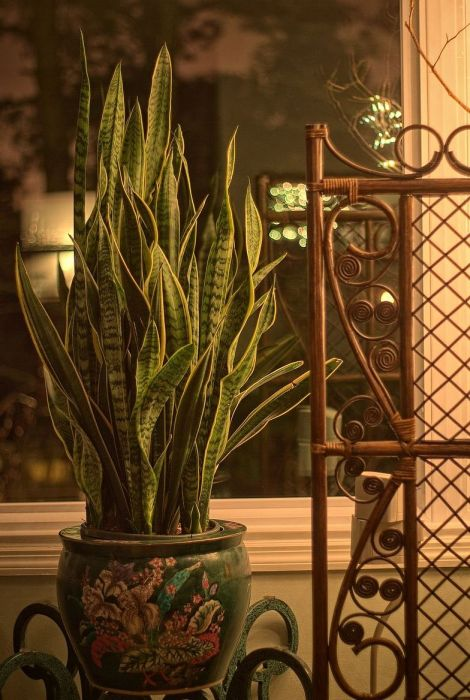 Sansevieria Trifasciata [Mother-in-Law's Tongue] now in the living room