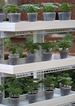 Day21--seedlings in new DIY trays on the plant stand