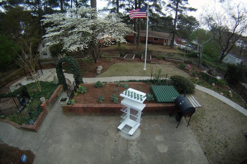 Backyard, dogwood in bloom