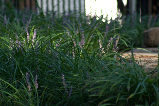 Liriope [Monkey Grass]