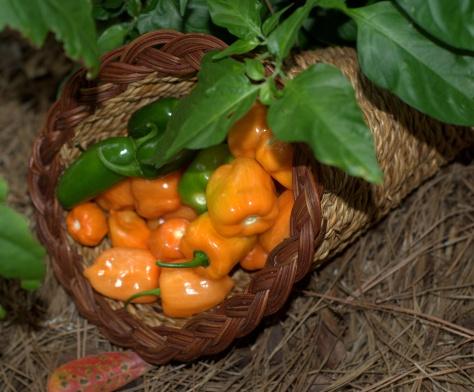 Bounty--an abundance of peppers