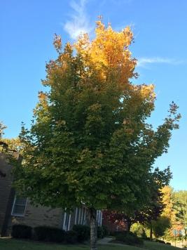 Neighbor's Bradford Pear Tree