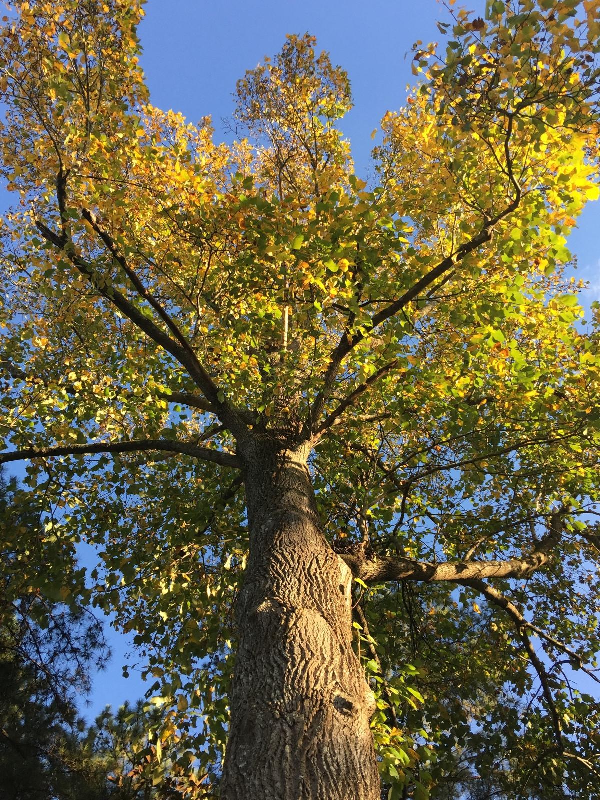 Autumn Color ~ Tulip Tree [Featured],10/30