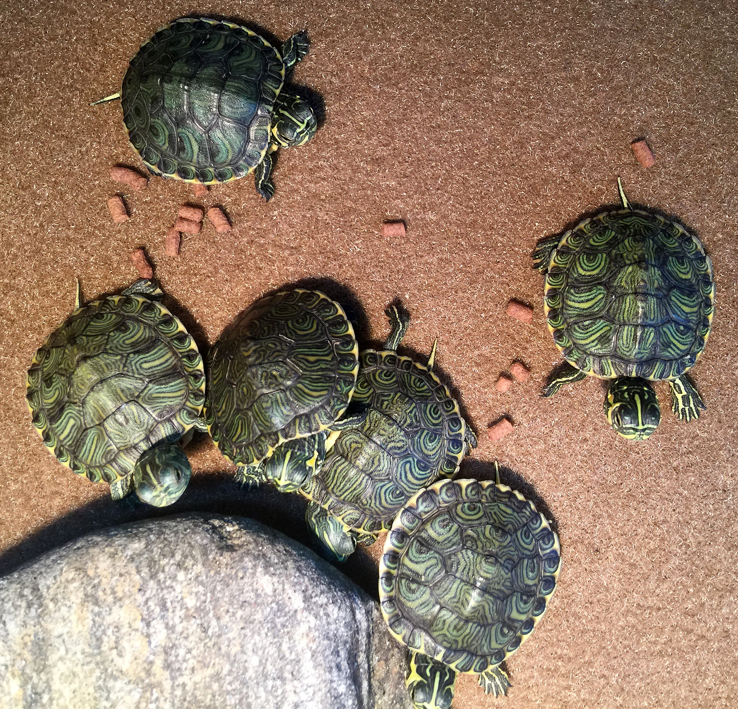 YBST ~ Four months ago 6 hatchling turtles arrived, 04/23