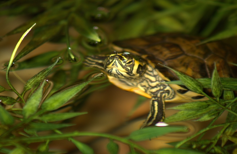 Photography ~ Aquatic Habitat–Yellow Bellied Slider Turtles & Fishes, 07/27