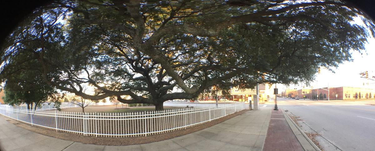 "Photography ~ ""The Tree,"" Corner of Hay & Hillsboro Streets, Fayetteville, North Carolina,11/04"