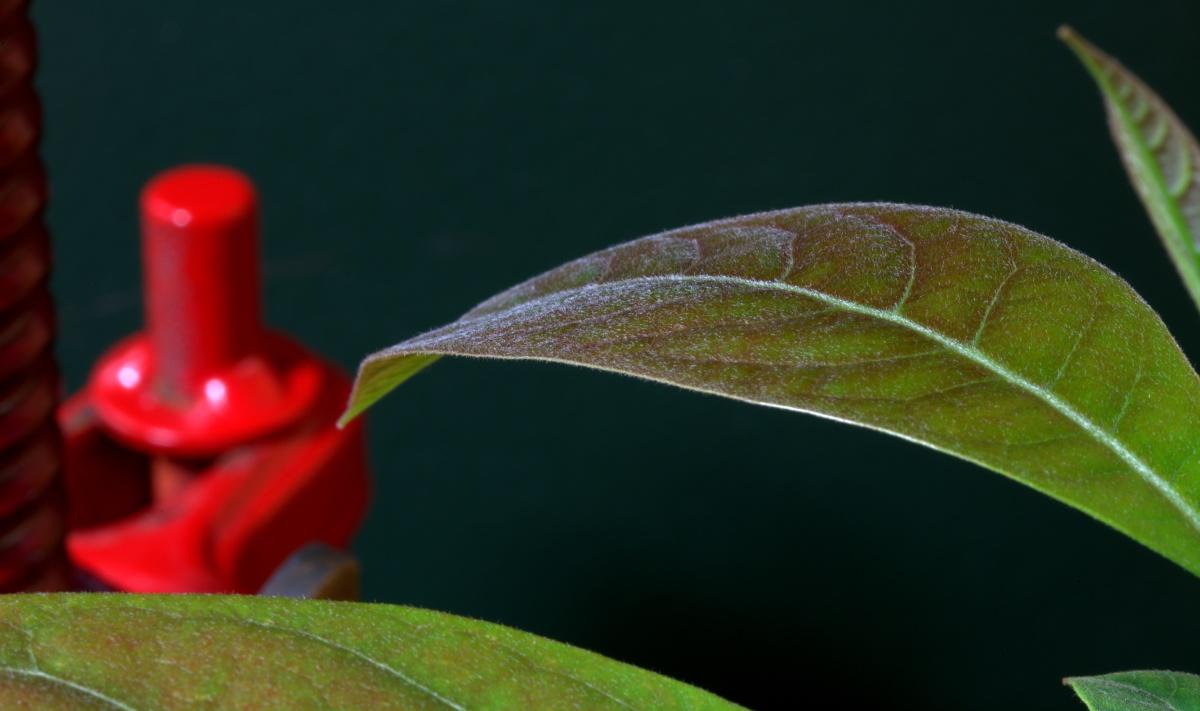 Macro Photography ~ Avocado–Trichome [Hairs],11/02