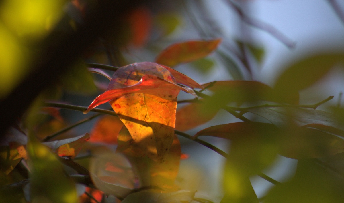 Photography ~ Autumn–Blueberry Bush, 12/05