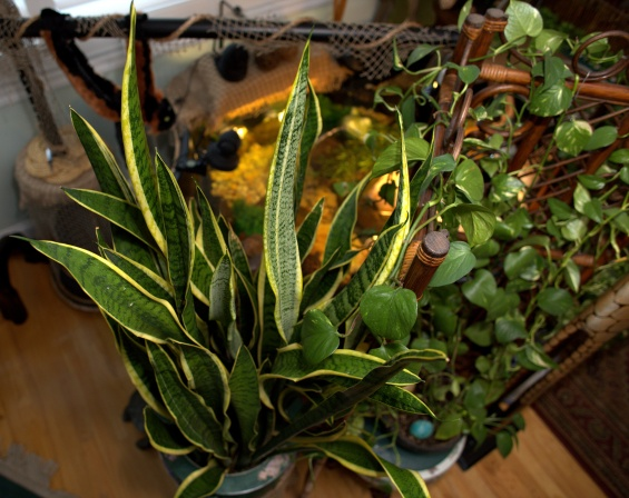 Sansevieria Trifasciata [Mother-in-Law's Tongue]
