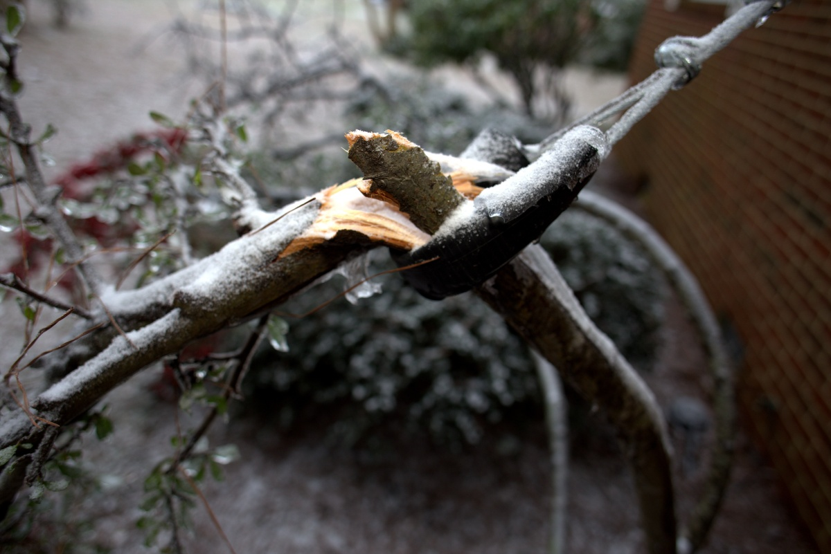 Storm Damage ~ My Pyracantha has fallen again, 01/23
