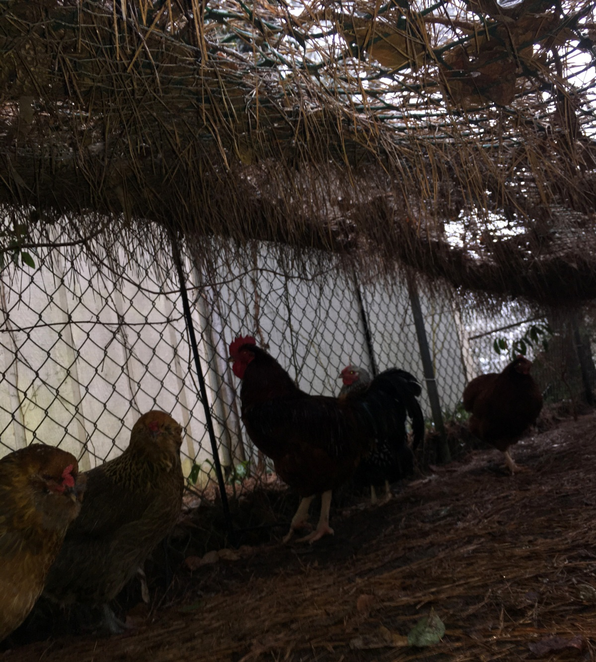 Weather & Chickens ~ Keeping Relatively Dry, Cedar Farms, 01/22
