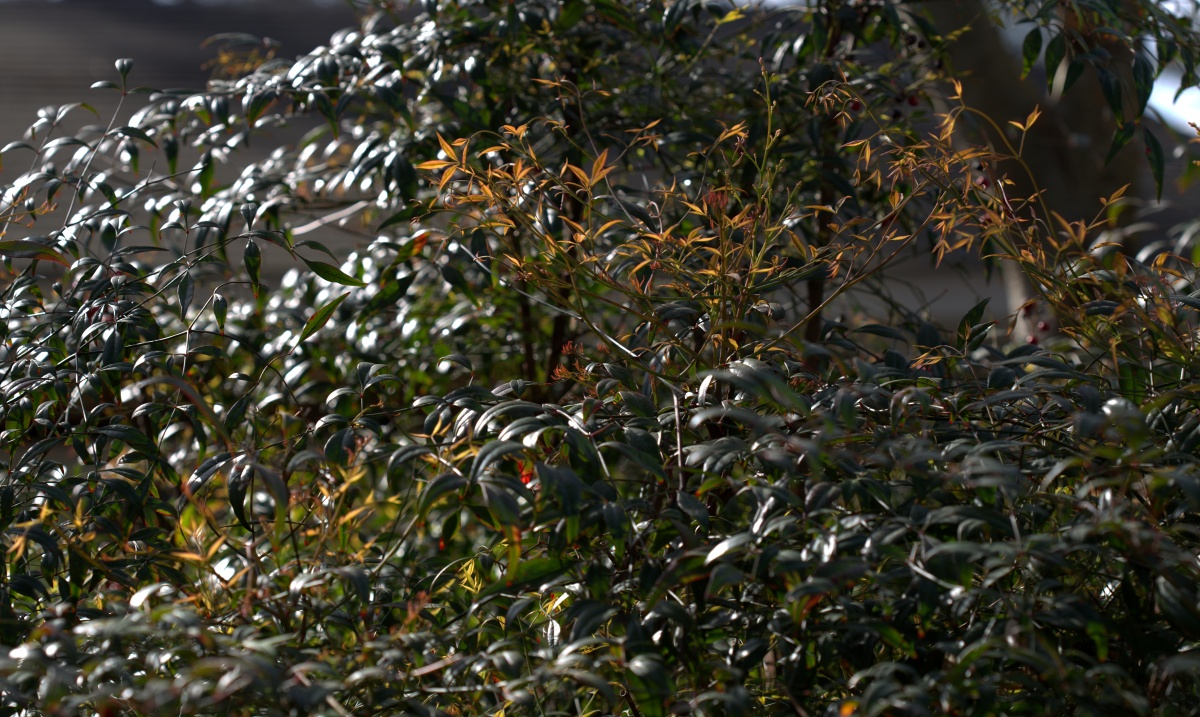 Photography ~ Shrubbery ~ It's Nandina Domestica in Spring!03/24