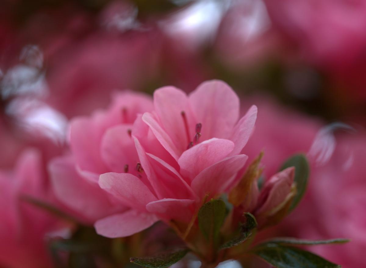 Photography ~ It is Spring–Fayetteville, North Carolina [Pink Azalea–Top], 03/25