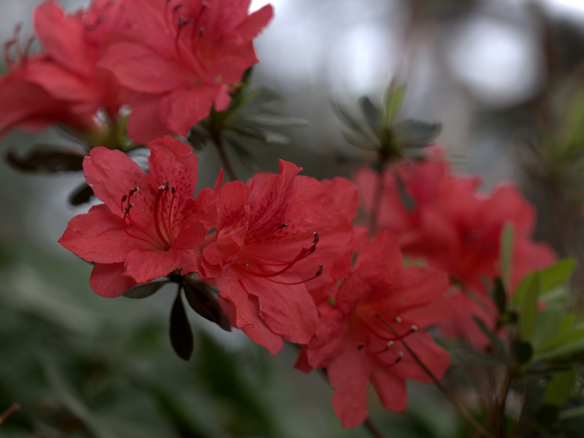 Photography ~ It is Spring–Fayetteville, North Carolina [Deep Pink Azalea][Top],03/25
