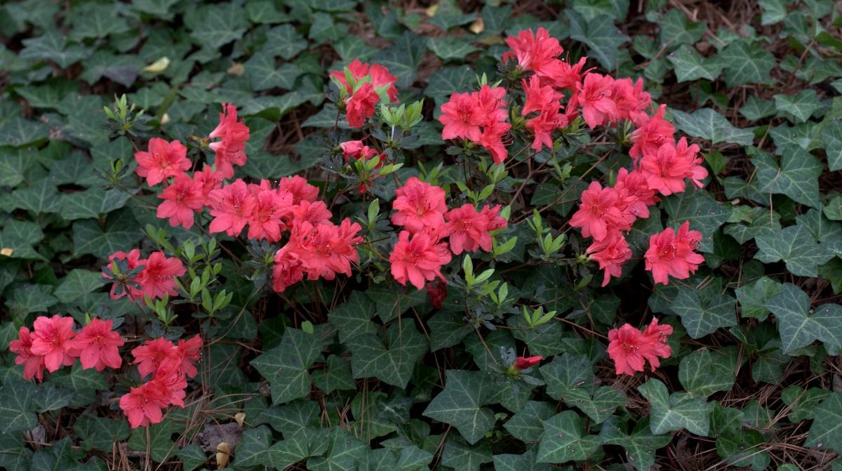 Photography ~ It is Spring–Fayetteville, North Carolina [Deep Pink Azalea],03/25