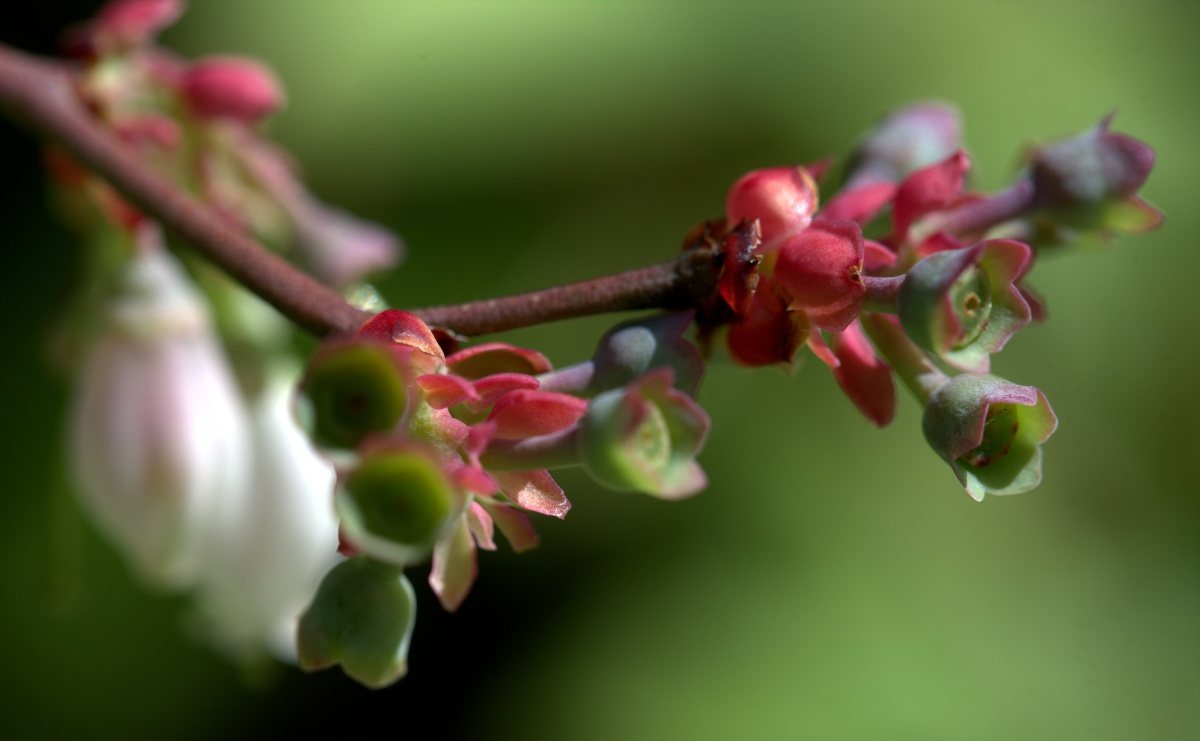 Photography ~ Spring [My Yard], Blueberry Bush–Bloom-to-Berry [Slideshow],04/02