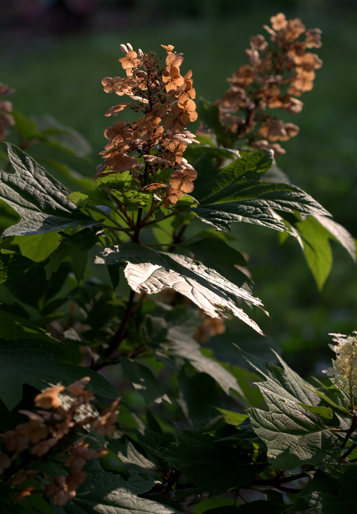 Photography ~ Oakleaf Hydrangea Blooms–Now Dried, 06/23