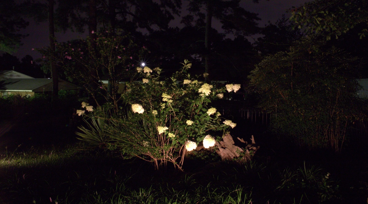 Photography ~ Limelight Hydrangea Blooms, by Night, 06/29