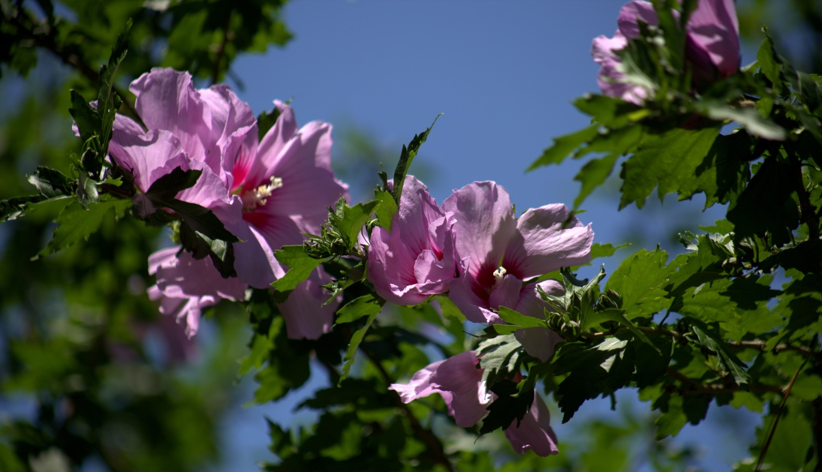 Photography ~ Spring [My Yard], Blooming Purple Tropical–Hibiscus, 06/07