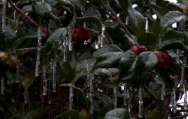 Camellia & Ice