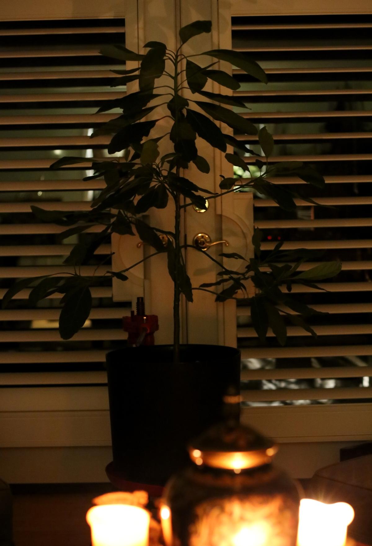 Photography ~ Plants–Avocado [Mercedes] & Sansevieria Trifasciata,09/22
