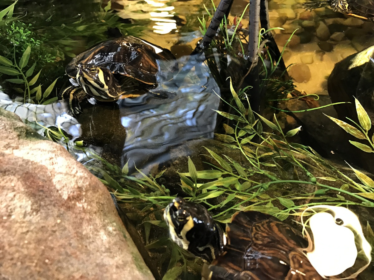 YBST ~ Yellow Bellied Slider Turtles–Quarterly Update [Flickr Tops],10/23