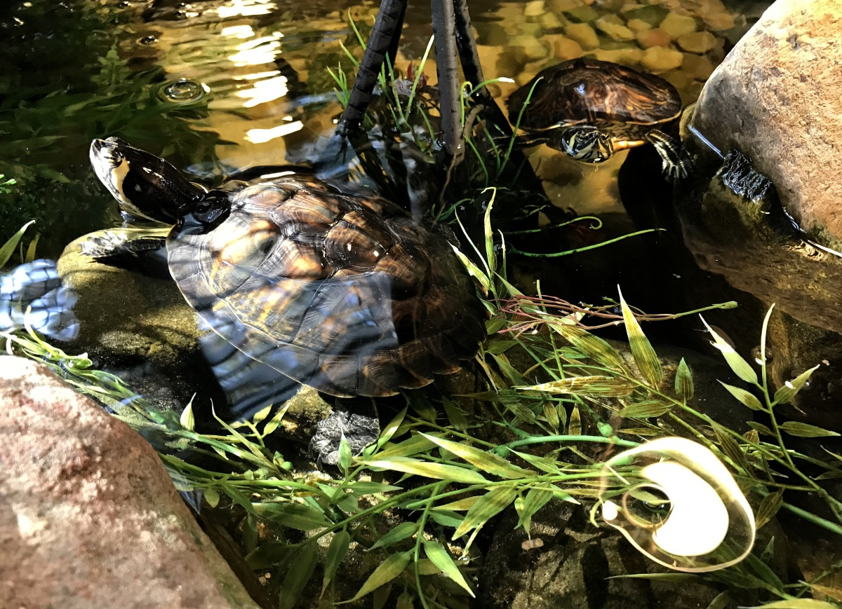 YBST ~ Yellow Bellied Slider Turtles–Quarterly Update,10/21