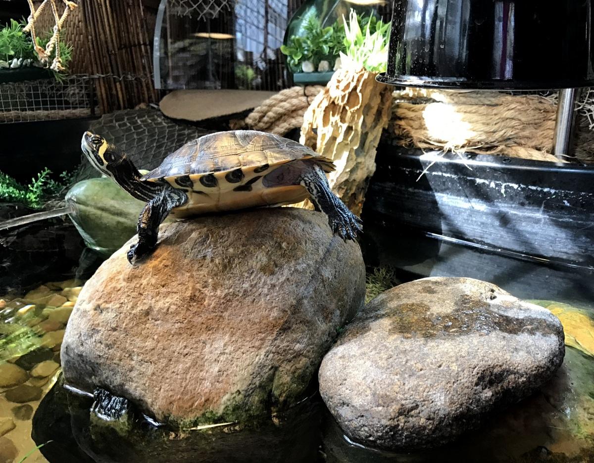 YBST ~ Yellow Bellied Slider Turtles–Quarterly Update [Slideshow],10/22