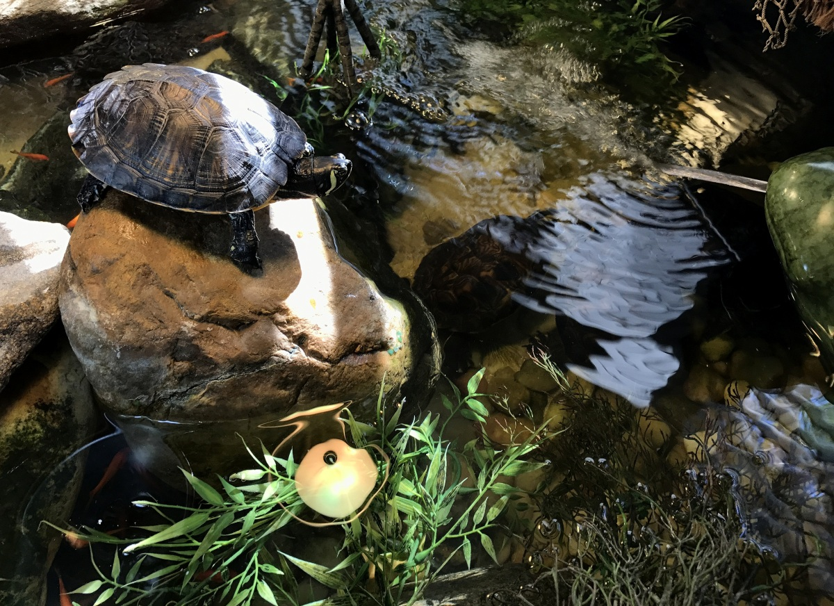 YBST ~ Yellow Bellied Slider Turtles–Quarterly Update [Flickr Basking Tops], 10/27