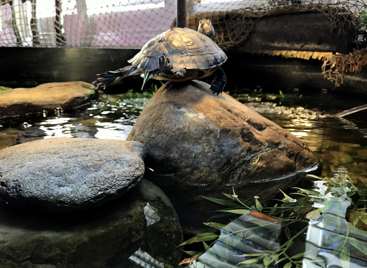 YBST ~ Yellow Bellied Slider Turtles–Quarterly Update [Slideshow], 10/21 – 10/26