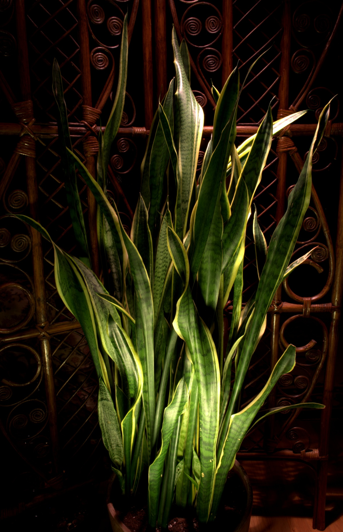 Photography ~ Sansevieria Trifasciata [Mother-in-Law's Tongue]–Continuous Lighting, 10/29