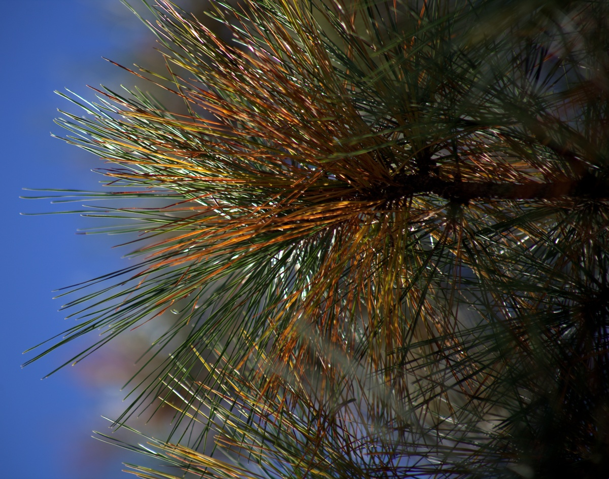 Photography ~ Pine Needles–Before they fall from the tree, 11/06