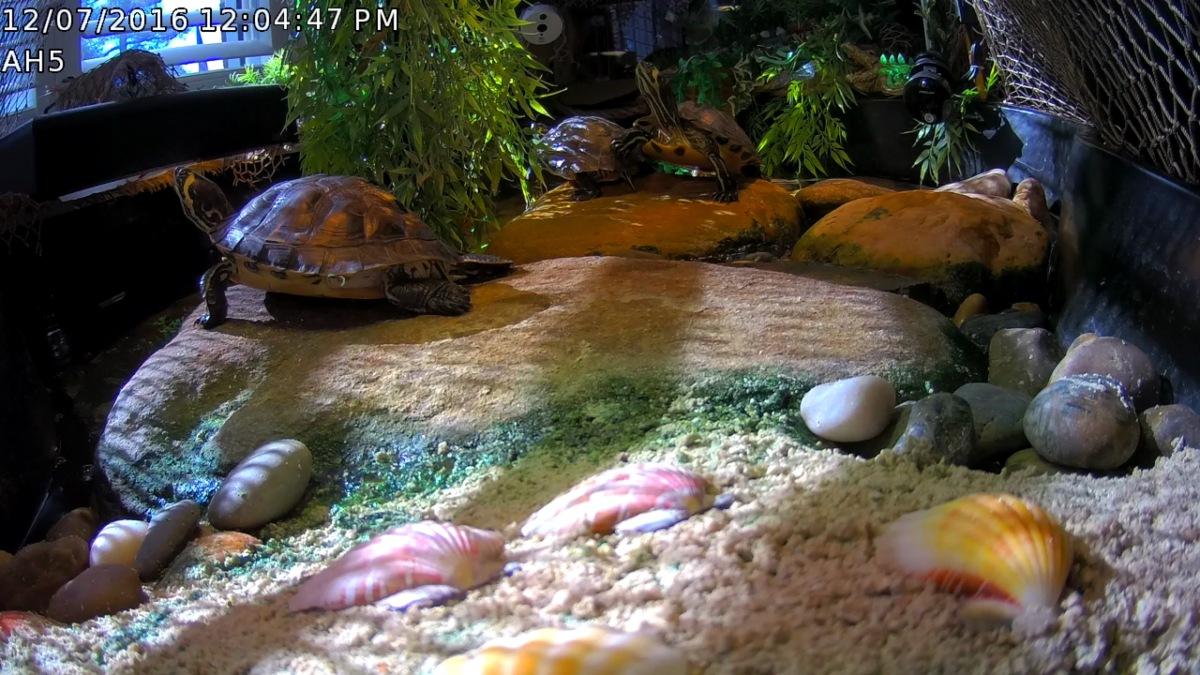 Foscam IP ScreenGrabs After Rock Bridge ~ Aquatic Habitat & BaskingYBST